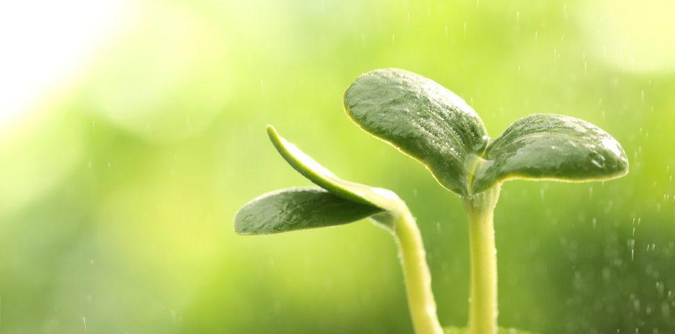 plantita